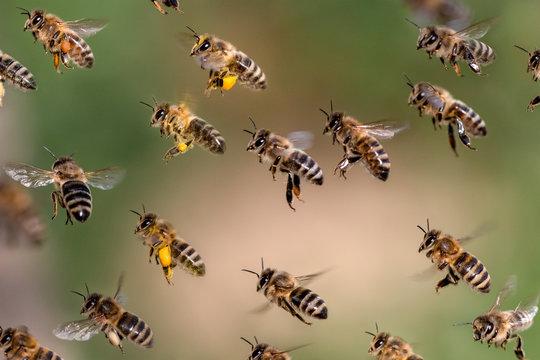 Fliegender Schwarm Bienen mit Pollen und ohne Pollen