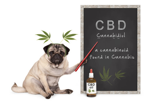 pug puppy dog with hemp leaves diadem pointing at blackboard with text CBD and dropper bottle with oil, isolated on white background