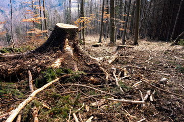 Damaged forest after logging with remaining stumps