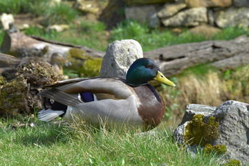 Anas platyrhynchos, wild duck, nice-colored male.