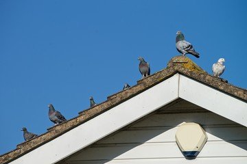 Pigeons on the roof