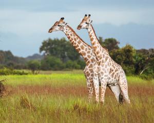 Thornicroft Girafe sanding in the bushveld in South Luangwa National Park, Zambia, Southern Africa(Giraffa)