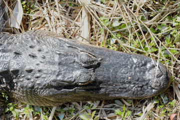 American Alligator (Alligator Mississippiensis) basking  in the sun in the Florida Everglades