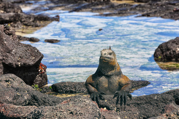 Galapagos Iguana basking in the sun on rock on Puerto Villamil beach, Isabela Island. Marine iguana is an endemic species in Galapagos Islands Animals, wildlife and nature of Ecuador.
