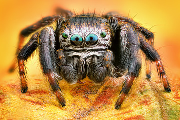 Spoed Fotobehang Macrofotografie Extreme sharp and detailed portrait of polish jumping spider macro
