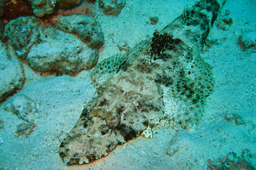 Crocodile fish, red sea, Egypt