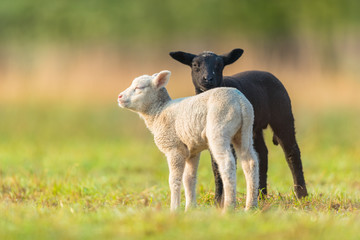 Cute different black and white young lambs on pasture