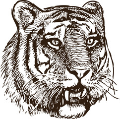 Sketch of a tiger head