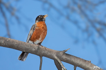 A robin sings while perched on a branch
