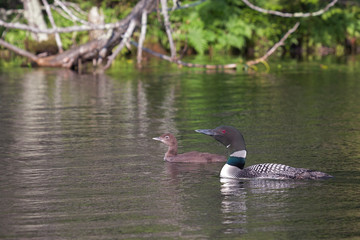 Swimming loons, a mother and her baby