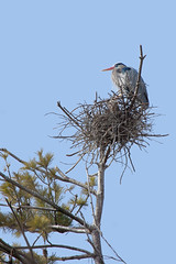 Great Blue Heron on its Nest