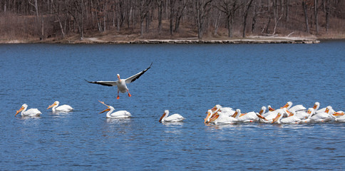 Pelican Lands into Swimming Flock