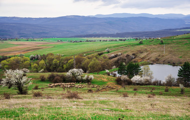 Spring landscape and herd of sheep in the distance