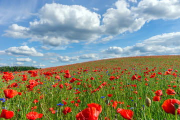 Obraz Flowers, Poppy field, Spring landscape - fototapety do salonu