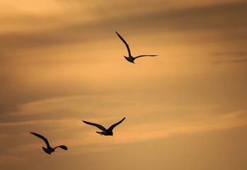 Flying Gull Silhouette
