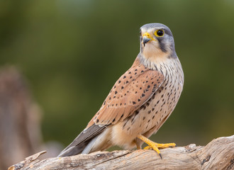 portrait of a common kestrel (Falco tinnunculus) perched on a trunk and green background Wall mural