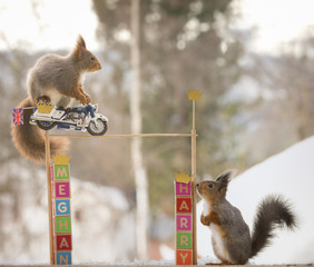 red squirrel is riding on a royal police motorcycle