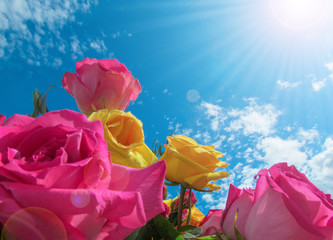 Yellow and pink roses on blue sky background.   Delicate soft colored composition of natural fresh garden flowers on a summer sunny day lit by sun rays.
