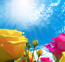 Yellow and pink roses on blue sky background. 