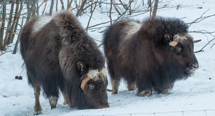 Musk Ox in the snow