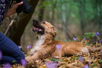Happy dog laying on ground in forest and photographed by its owner during autumn. Colorful flowers and fallen leaves all around