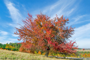 Tree with completely red leaves against an orange and evergreen tree covered mountain side. Beautiful, colorful autumn background.