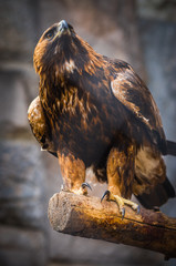 Image of  severe and serious golden eagle with red feathers