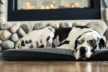 Sleeping harlequin great dane dog wearing aviator sunglasses by a fireplace on bed on hardwood floors