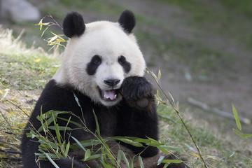 Tuinposter Panda Oso panda comiendo bambu