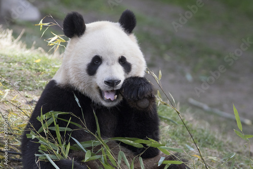 """Oso Panda Comiendo Bambu"" Stock Photo And Royalty-free"