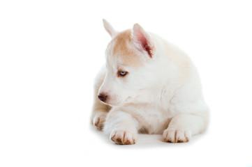 Sibirian Husky Welpe schaut zur Seite isoliert auf weißem Hintergrund