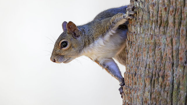 Squirrel hanging on side of tree with white background
