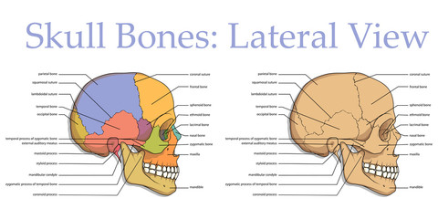 Medical Education Chart of Biology for Human Skull Diagram. Vector illustration