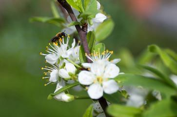 Mirabellenblüten und Biene