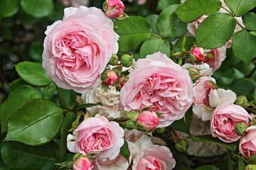 rosa englische Strauchrose