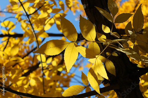 Branches Of Maple Acer Negundo With Yellow Autumn Leaves In