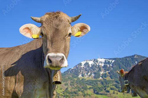 Kuh Allgäu Hörner Grünten Frühling Süß Lustig Niedlich