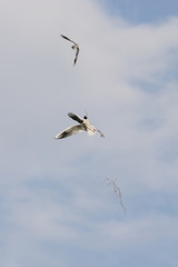 A seagull sailing flying in the sky carrying a straw to build a nest.