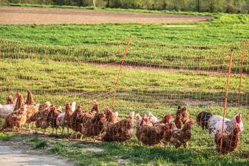 Hühner hinterm Zaun