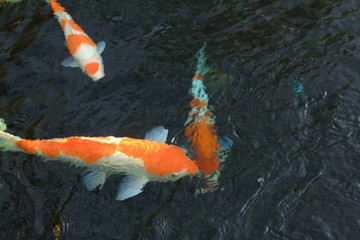 Colorful Japanese 'Koi' ornamental fish or 'Fancy Carps Fish' in the outdoor natural pond