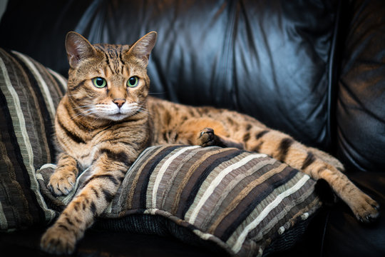 Portrait of a Bengal cat lying down on the sofa