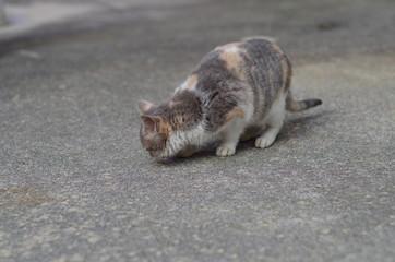 何かを探す三毛猫