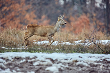 Foto auf Acrylglas Reh Roe deer in the forest
