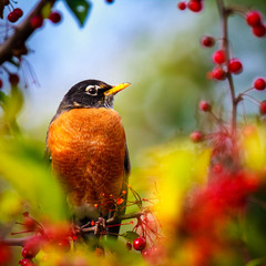 American Robin perched in a tree surrounded by red berries