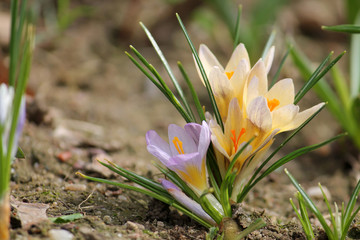Flowering snow of golden crocus (Crocus chrysanthus) on flowerbed