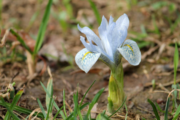 Light blue flower of winter iris. Hybrid of Iris histrioides and Iris winogradowii