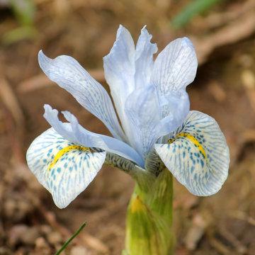 Light blue flower of winter iris. Hybrid of Iris histrioides and Iris winogradowii