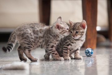 Bengal Kitten Silver