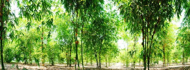 Green bamboo garden panoramic photo, planted to eat trees