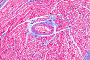 Histology of human cardiac muscle under microscope view for education.